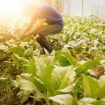 Produção Agrícola para Alimentação Escolar